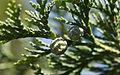 Cypress Cones (6059642632) (2).jpg