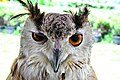 D85 1794Siberian Eagle Owl Photographed by Trisorn Triboon.jpg