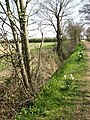 Daffodils growing alongside drainage ditch - geograph.org.uk - 772778.jpg