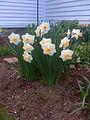 Daffodils in Spring.jpg