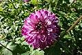 Dahlia @ Parc Floral @ Paris (29528470304).jpg