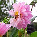 Dahlia Bee.jpg