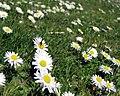 Daisy near Scrabo (1) - geograph.org.uk - 780506.jpg