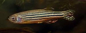 Danio - Zebrafish, (Danio rerio)