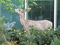 Deer at BYU (33610310663).jpg