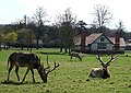 Deer in front of Park Farm, Woburn Abbey - geograph.org.uk - 775683.jpg