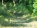 Deers at Kalagarh Tiger Reserve.jpg
