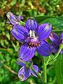 Delphinium staphisagria 002.JPG