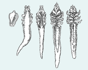 Demodex folliculorum, Stadien (v. l. n. r.): Ei, Larve, Protonymphe, Nymphe, Adultus