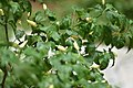 Demon chillies Plant White.jpg