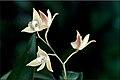 Dendrobium adae.jpg