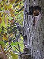 Dendrocopos minor mushrooms tree brok 2 beentree.jpg