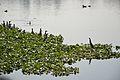 Dendrocygna javanica and Ardeola grayii - Santragachi Lake - Howrah 2013-01-25 3610.JPG