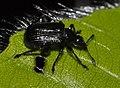Deporaus-betulae-02-fws.jpg