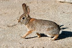 Desert Cottontail 2.jpg