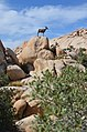 Desert bighorn sheep Baker Dam Trail Joshua Tree Park 2019 2.jpg