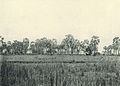Deutsch-Ostafrika, Zentrales Steppengebiet (Busse) - Tafel 44 - Dumpalmen.jpg