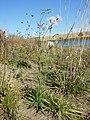 Dianthus superbus subsp. superbus sl19.jpg