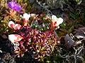 Diapensia lapponica (2580182899).jpg