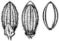 Dichanthelium commutatum (as Panicum ashei) HC-1950.png