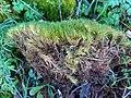 Dicranum scoparium 58688075.jpg