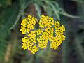 Die Hohe Goldgarbe, lat. Achillea filipendulina 'Coronation Gold' 01.jpg