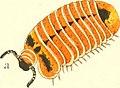 Die Myriapoden - getreu nach der Natur abgebildet und beschrieben (1863) (20924612792).jpg