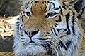 Dierenpark Emmen Siberian tiger (8672941942).jpg