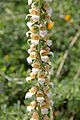 Digitalis trojana pm.jpg