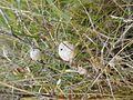 Diplolepis mayri (Cynipidae) - (gall), Vlieland, the Netherlands.jpg