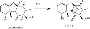 Gliotoxin - Conversion of dithiol gliotoxin to gliotoxin by the enzyme GliT.