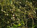 Dodder-laurel (3441141571).jpg