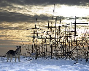 English: Dog in the snow, in/near Burgas, Bulg...