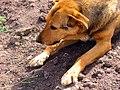 Dogs of Iran سگ ها در ایران 14.jpg