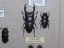 Dorcus sp., a destra la femmina