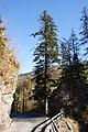Dornbirn-natural monument Abies alba-02ASD.jpg