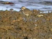 File:Double-banded Plover (winter).ogv