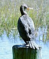 Double-crested Cormorant (24438534135).jpg