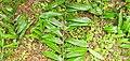 Dracaena viridiflora Engl. & K.Krause.jpg