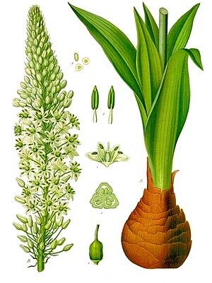Drimia maritima - Image: Drimia maritima Köhler–s Medizinal Pflanzen 277