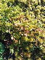 Drosera rotundifolia in Finland.jpg