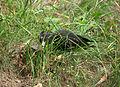 Dryocopus martius Sopot 2.jpg