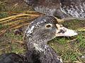 Duck (2847698537).jpg