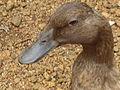 Duck - താറാവ് 02.JPG
