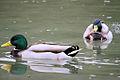 Ducks - February 2009 (3316995016).jpg