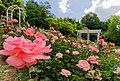Duftende Schönheit, der Rosengarten im Kurpark Bad Mergentheim. 14.jpg