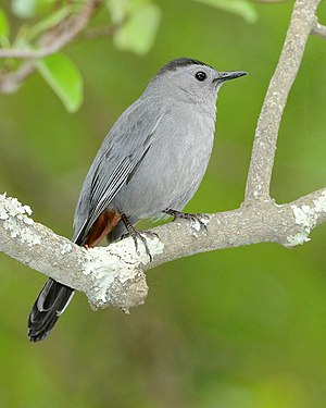 Gray catbird - Adult in Brendan T. Byrne State Forest New Jersey, USA