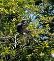 Dusky Langur sitting in the tree.JPG