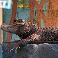 Dwarf crocodile.jpg