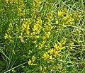 Dyer's Greenweed. Genista tinctoria (49208983866).jpg